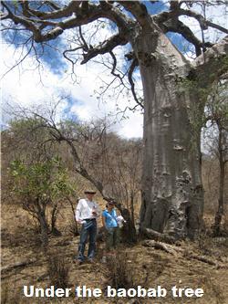 Boabab_tree